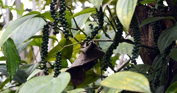 Pure Pepper   Pfeffer auf Sri Lanka