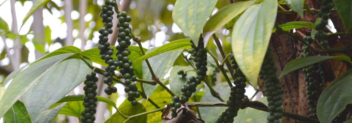 Pfeffer aus Sri Lanka