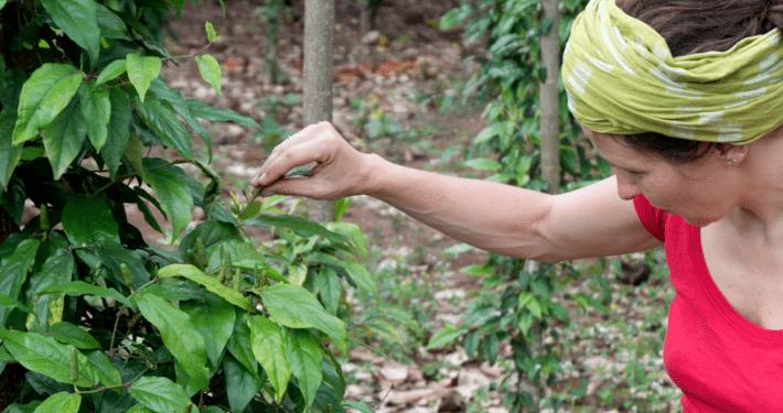 Pfefferpflanze
